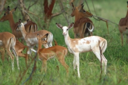 white-flanked-impala